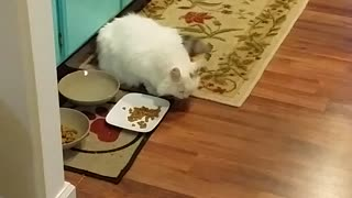 Cat demonstrates strange method of eating food