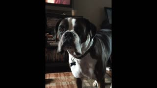 Boxer dog wants dinner on time - Video