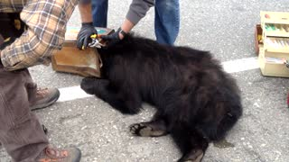 Bear with Head Stuck in Can is Rescued by Fish and Game Biologists - Video