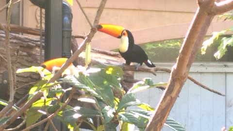 Dueling Toucans