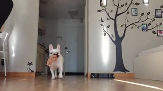 Applying slow motion effect for a French bulldog - Video