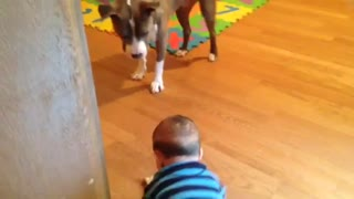 Baby hands gentle pit bull a MilkBone - Video