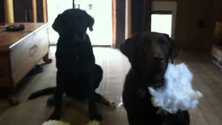 Labrador Rats Out Sibling For A Fluffy Mess - Video