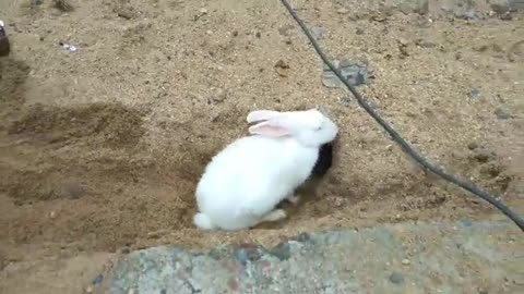 Rabbit digging deep burrow reverses out when called