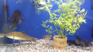 The fish ate at the aquarium wildly - Video