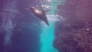 Sea lions swarm diver in Mexico