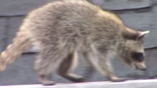 Raccoon roof dance
