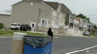 Dumpster Diving Raven  - Video