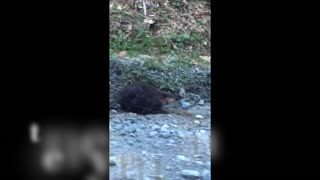 Beaver Walks home after a tough day  - Video