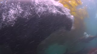 Sea Lion Attacks Camera Underwater - Video