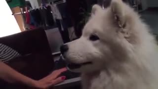 Samoyed puppy tastes coffee, gives hilarious reaction