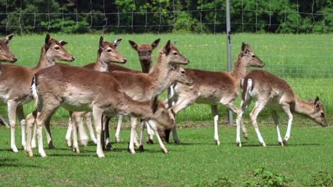 Do you like deer come to Sweden