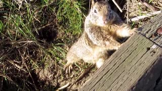 Cute squirrel poses for camera - Video