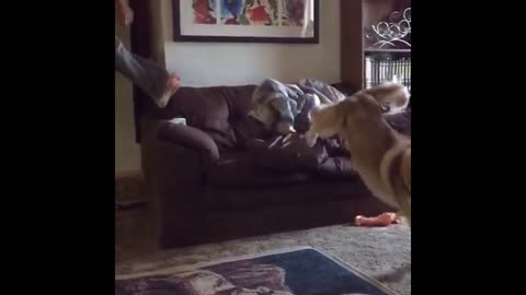 Husky Jumps On Couch In Slow Motion