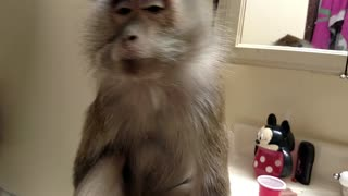 Monkey tells human to kiss her butt  - Video