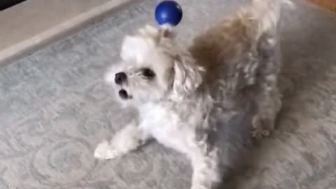 Dog gets angry about the ball hitting her head