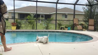 Energetic Westie Loves to Chase Bubbles