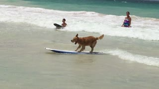Surfing dog rides a wave with ease