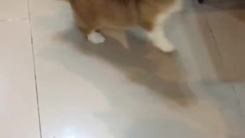 Corgi funny video clip