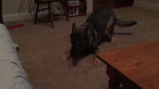 German Shepherd goes crazy for no apparent reason - Video