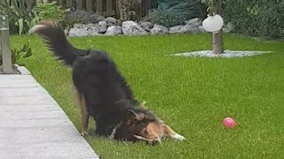 Border collie dog rubs neck into grass