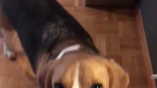 Brown beagle dog turns on light switch - Video
