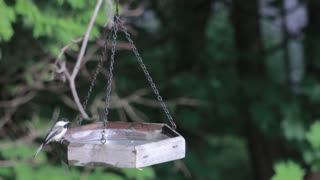 Thirsty Birds Finds hanged Water Plate