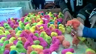 Little color ful baby chickens