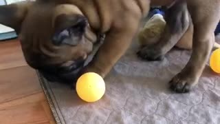 Brown french bull dog frenchie with green ball in mouth wants orange ball - Video