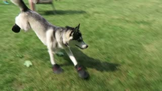 Husky tries dog shoes for the first time - Video