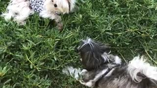 Two dogs play in the grass outside and one wears a black white outfit  - Video