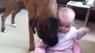 Baby girl adorably plays with excited boxer