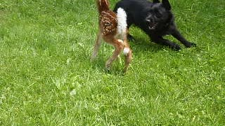 Dog And Baby Deer Play In A Grass Field - Video