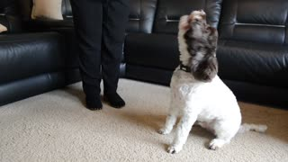 DOG breaks into song every time his owner says 'I love you'