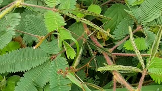 Sensitive Plant In Thailand  - Video