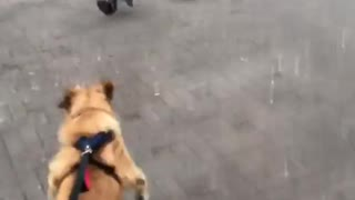 good boy liam play with birds in the square