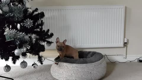 Puppy ignores owners request to stop chewing the Christmas tree