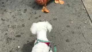 White dog curious about brown dog balloon - Video