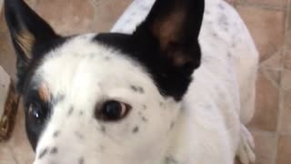 This dog loves his treats - Video