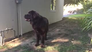 Smart Newfoundland learns to get his own water - Video