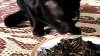 Black cats eat black fish,Black cat is also black fate  - Video