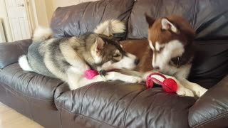 Cheeky husky slyly steals brothers toy!
