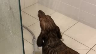 Happy Dachshund turns bath time into play time!