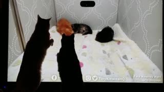 Cats watching kittens on TV