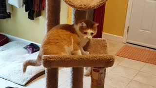 Brown cat falls out off cat tower while playing with owner - Video