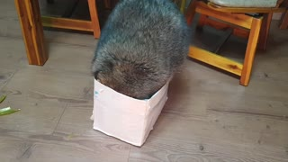 Chunky raccoon tries to squeeze inside tiny cardboard box