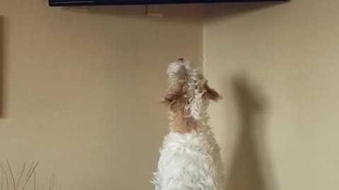 Russell Terrier amazed watching dog show on TV