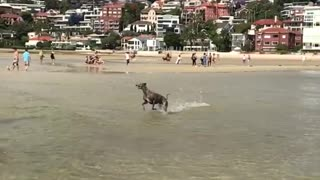 Brown dog runs fast over beach water slow motion