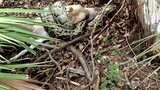 12-Foot Python Eating a Goat Gets Shot by Grandpa - Video
