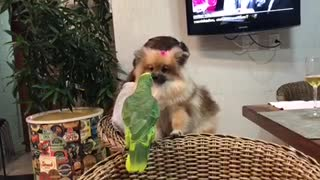 Pomeranian and Parrot Kisses